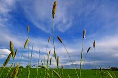 Hilos de la hierba debajo del cielo azul Fotografía de archivo