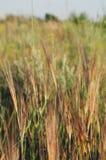 Hilos finos, largos, duros, marrones de espiguillas bajo luz del sol en un campo fotografía de archivo