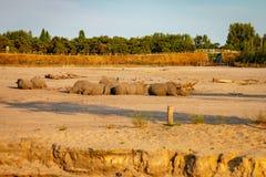 HILVARENBEEK,荷兰- 2018年8月1日:犀牛休息ag 免版税库存照片