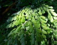 Himalaja-Maidenhair Stockfoto