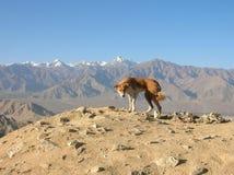 Himalajahund im Gipfel stockfotografie