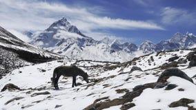 Himalajapferd stockbild