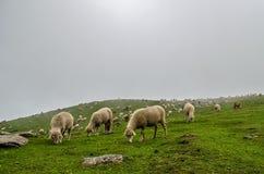 Himalajaschafe Stockfotos