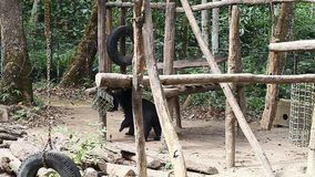 Himalajscy niedźwiedzie w zoo zdjęcie wideo
