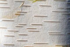 Himalajska brzozy barkentyny tekstura Zdjęcie Royalty Free