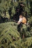 Himalajska małpa w drzewie Zdjęcie Royalty Free