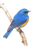 Himalajski Bluetail zdjęcia stock