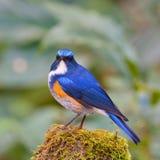 Himalajski Bluetail obrazy royalty free