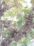 Himalajski figi drzewo fotografia royalty free