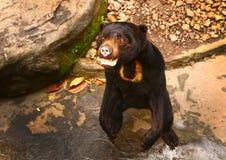 Himalajski niedźwiedź błaga dla jedzenia zakończenia up Zdjęcia Stock