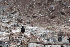 Himalajski ptak balansujący na koszu obrazy stock