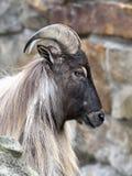 Himalajski tahr (Hemitragus jemlahicus) Fotografia Royalty Free