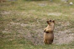 Himalajski świstak Fotografia Royalty Free