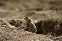 Himalajski świstak Fotografia Stock