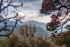 Himalajskie góry, Nepal Kwiatonośni różaneczniki obrazy royalty free
