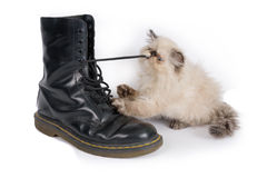 Himalauan cat playing with a boot lace Stock Photography