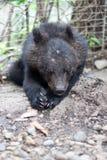 Himalaya bear Stock Photography