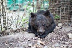 Himalaya bear Royalty Free Stock Photos