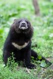 Himalaya bear Stock Image