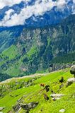 Himalaya mountains landscape with wild cows Stock Image