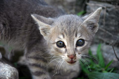 Himalaya Nepal Cat Stock Photo