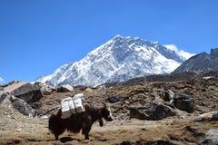 himalaya nepal yak arkivfoto