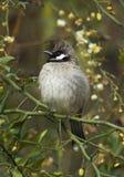Himalaya Witoorbulbul, Himalayan Bulbul, Pycnonotus leucogenys royalty free stock photos