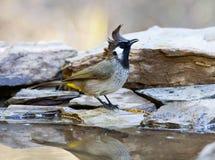 Himalaya Witoorbulbul, Himalayan Bulbul, Pycnonotus leucogenys royalty free stock photography