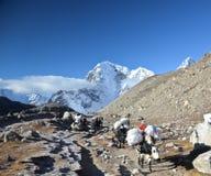 Himalaya Yaks stock photos