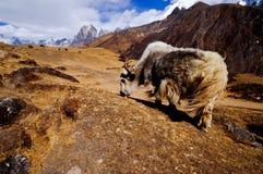 Himalayagebergte Yack Stock Afbeelding