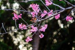 himalayan άγρια περιοχές κερασιών στοκ φωτογραφίες με δικαίωμα ελεύθερης χρήσης