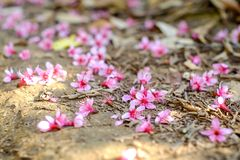himalayan άγρια περιοχές κερασιών στοκ φωτογραφίες