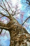 himalayan άγρια περιοχές κερασιών Στοκ εικόνες με δικαίωμα ελεύθερης χρήσης