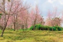 himalayan άγρια περιοχές κερασιών Στοκ φωτογραφία με δικαίωμα ελεύθερης χρήσης