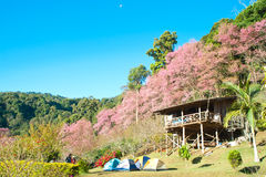himalayan άγρια περιοχές κερασιών στοκ εικόνα