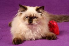 himalayan γατάκι περσικό Στοκ φωτογραφίες με δικαίωμα ελεύθερης χρήσης