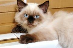 himalayan котенок Стоковая Фотография RF