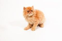 himalayan котенок Стоковая Фотография