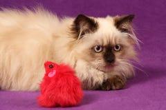 himalayan персиянка котенка Стоковое Изображение RF