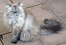 Himalayan. Seal lynx point himalayan cat stock photography