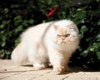 кот himalayan Стоковые Изображения RF