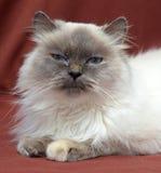 кот himalayan Стоковое Изображение