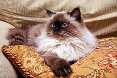 γάτα himalayan Στοκ Εικόνα