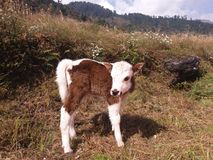 Cow. Himalayan area are many yak it is yak and cow intercource baby stock images