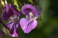 Himalayan Balsam Royalty Free Stock Photography