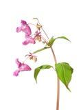 Himalayan balsam (Impatiens glandulifera) Royalty Free Stock Photo