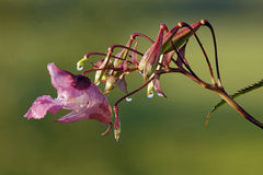 Himalayan Balsam Royalty Free Stock Photo
