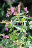 Himalayan Balsam. Impatiens glandulifera is a relative of the busy Lizzie, and is a serious weed problem in the UK, especially on riverbanks and waste land and Royalty Free Stock Images