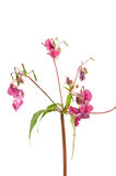 Himalayan Balsam Royalty Free Stock Images