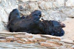 Himalayan bear Royalty Free Stock Photography